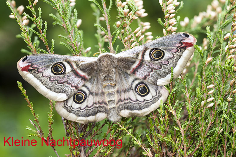 Kleine Nachtpauwoog vrouwtje   saturnia pavonia    _OS_6692 kopiëren