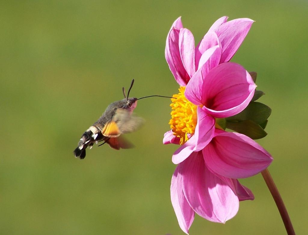 hummingbird-hawk-moth-542500_1280