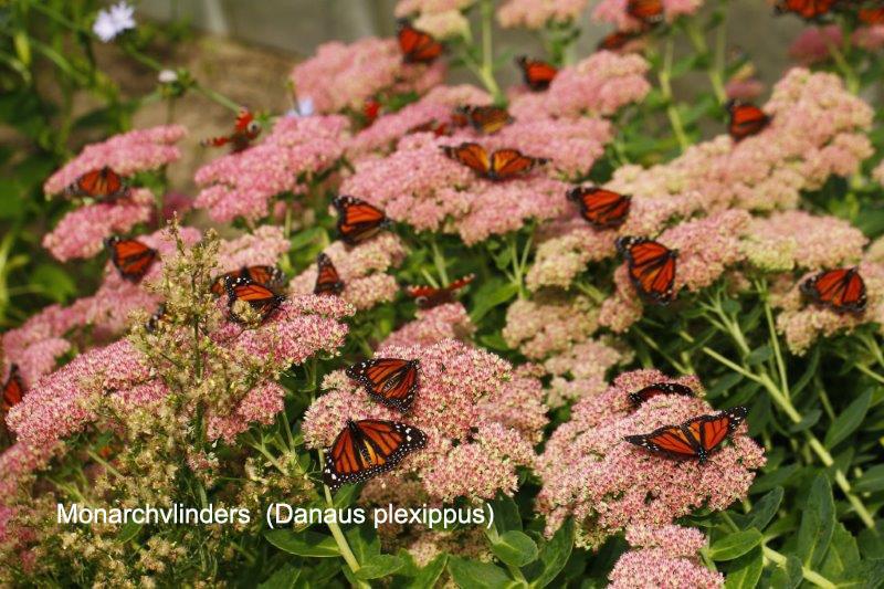 Monarchvlinders (Danaus plexippus)