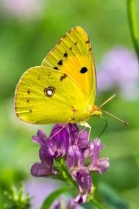 Luzurne vlinder
