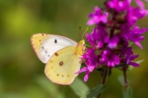 Luzurne vlinder licht gekleurd