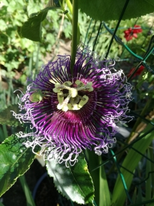 Passiflora Bayron Beauty