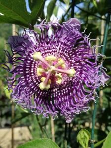 Passiflora Cincinata d p