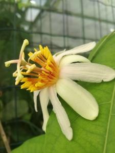 Passiflora Pitterie