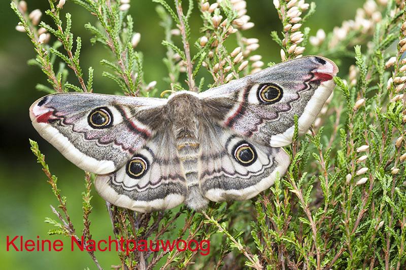 Kleine Nachtpauwoog vrouwtje (saturnia pavonia)