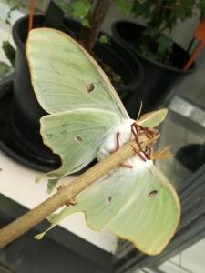 Actias Cinensis parend