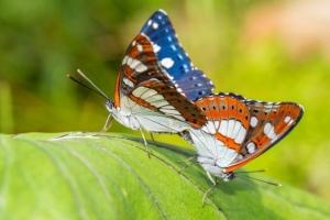 IJsvogel vlinder parend