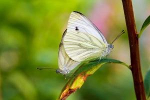 Klein geaderd witje parend