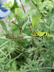 Koninginne page en Papilio Xuthus
