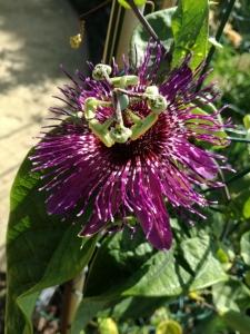 Passiflora Speci Colombia