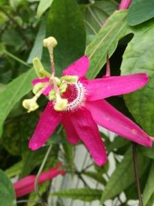 Passiflora Tarapotina