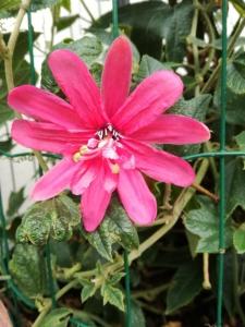 Passiflora Wilgen K Verhoef