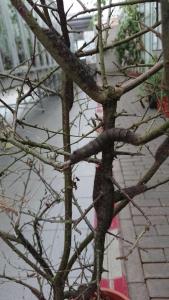 Eikenbladvlinder rups