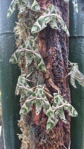 Oleander Pijlstaart
