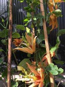 Passiflora Auranta