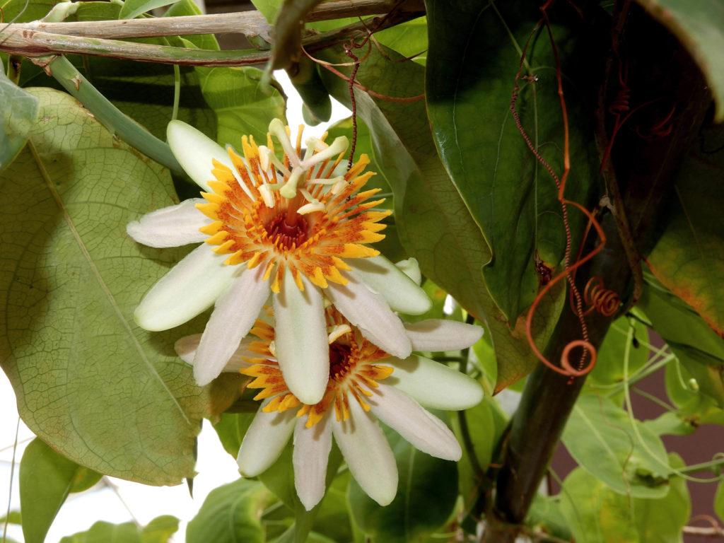 Bloem van de Passiflora pittieri